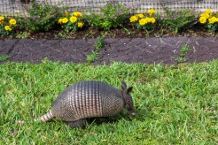 armadillo-removal-parrish